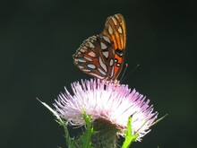 Gulf Fritillary Butterfly On A Thistle Bloom