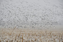 Snow Geese Flying Over A Harvested Corn Field