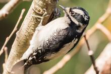 Female Downy Woodpecker Bird Takes A Break From Pecking