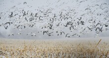 Snow Geese Flying Over A Snowy Corn Field