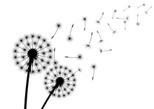 Silhouette Of Dandelion With Flying Seed Or Spore.
