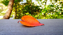 A Red Ulmus Davidiana Var. Japonica (Japanese Elm. Chinese Elm) Leaf Fell On The Wooden Floor In The Backgound Of Autumn Trees.