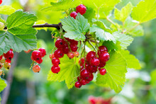Branch With Red Currant Berries And Green Leaves On Berry Bush In Garden. Summer Season Fruits On Sunlight