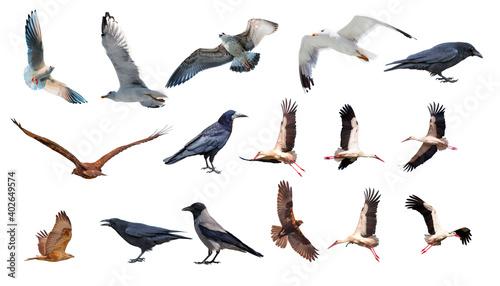 Fototapeta premium Various bird species isolated white background - Stork, Crow, Hawk, Seagull
