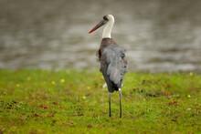 Woolly-necked Whitenecked Stork, Ciconia Episcopus, Walking In Grass, Okavango Delta, Moremi, Botswana. River With Bird In Africa. Stork In Nature March Habitat. Wildlife Scene From Africa Nat