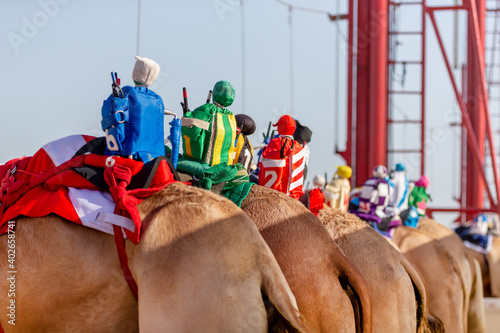 Fototapeta Robots on the back of the camels replacement of a jockeys in Abu Dhabi, UAE