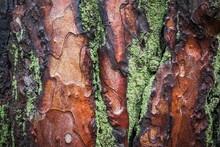 Tree Bark Photo With Moss, Aspen Texture