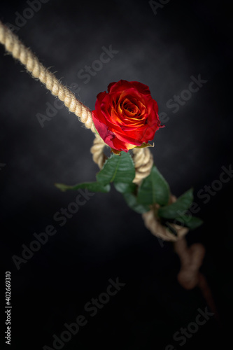 Obraz Red rose is tied with a rough rope. The concept of slavery or hostage, restriction of freedom. - fototapety do salonu