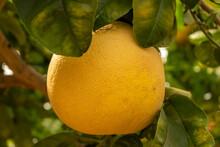 Ripe Grapefruit Growing On A Tree