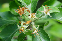 Winter Moth (Operophtera Brumata) And Apple Blossom Damaged By A Caterpillar. Winter Moth Is An Important Pest Of Apple And Pear.