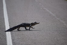 Young Alligator Walking Across The Road