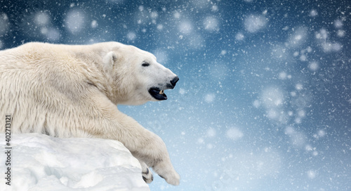 Polar bear on a melting ice floe in the arctic sea