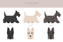 Scottish Terrier Dogs In Different Poses And Coat Colors. Adult And Puppy Scottie Set