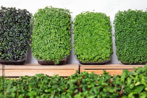 Fototapeta Fresh organic microgreens assortment near wooden crate, closeup obraz