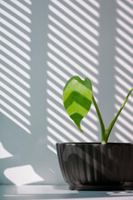 Young Green Jungle Monstera Plant Is Growing In Black Flower Pot On White Table With Sunlight And Abstract Shadow Pattern On Surface In Vertical Frame