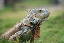 Big Red Iguana Walking On The Grass