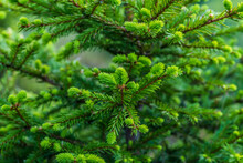 Close View Of Fir Tree Branches And Needles