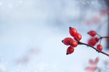 Red Fruits Of Rose Hips On A Branch In Winter. Winter Nature.