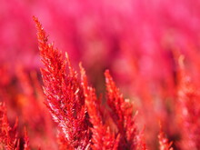 Cocks Comb, Foxtail Amaranth, Red Color Celosia Argentea AMARANTHACEAE Flowers Blooming In Garden Blurred Of Nature Background, Celosia Plumose, Plumed Celusia, Wool Flower