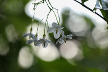 Wild Water Plum Flower Are Blooming