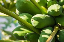 Large Group Of Natural Papaya Fruit Growing On Tropical Tree