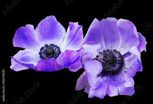 Fotografering Purple anemone flower