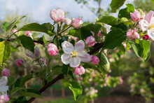 Beautiful Pink Tinged Flowers Of Apple Trees In A Spring Garden