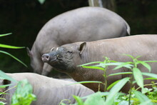 The Babirusas,  Babyrousa Babyrussa  Also Called Deer Pigs And Indonesian Locally Name Is Babi Rusa.