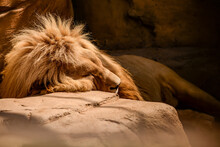 A Lion Resting On A Summer Day, Sleeping