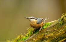 Nuthatch, Scientific Name: Sitta Europaea, In Natural Woodland Habitat, Perched On Moss Covered Log, Alert And Facing Left.  Clean Background.  Close Up.  Horizontal.  Space For Copy.