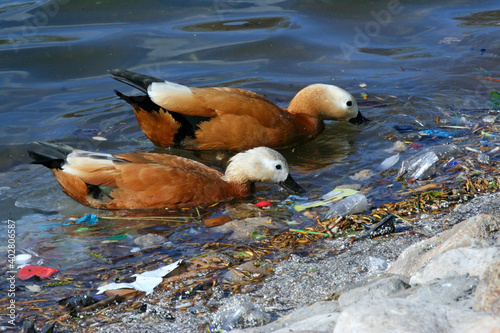 Obraz Hungry duck birds in search of food among the garbage in the pond.Human waste pollution in nature. - fototapety do salonu