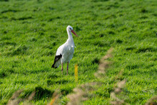 White Stork On A Large Green Field