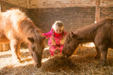 A small kid girl feeds ponies in a stable.