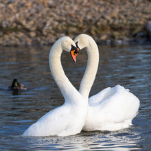 Courting Swans Heart Symmetry