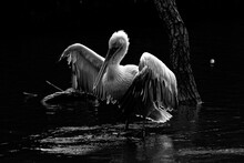 Pelicans On The Water