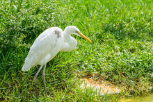 A Great Egret Standing On The Lakeside And Looking For Food A Wetland