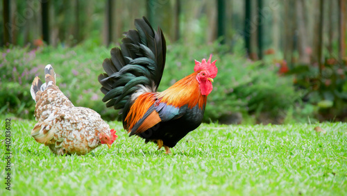 Bantam chickens are small, not tall and short legs, beautiful colors Fototapet