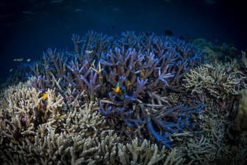 Fototapeta na wymiar Pristine staghorn coral at scuba diving site in Indonesia