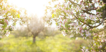 Abstract Spring Background Of Blossoming Tree. Spring Flowers Defocus. Copy Space.