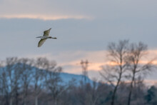 Grey Heron In Flight In The Sky Over The Drôme, France