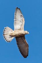 Lesser Kestrel, Falco Naumanni