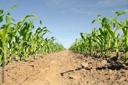 Young corn field Fototapeta