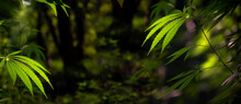 Panoramic Pictures Of Wildlife.Forest Hygrophilous And Shade-tolerant Species.Green Leaves Glow In The Sun.