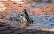Western Blue Jay  Bird Taking A Bath In A Puddle.