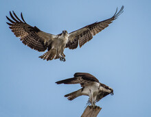 Two Ospreys At A Man Made Nest. One In Flight And One On A Perch.
