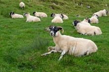 A Scottish Blackface Sheep On The Isle Of Skye