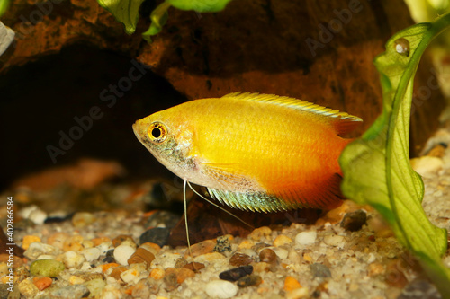 Leinwand Poster Honey gourami Trichogaster chuna tropical aquarium fish isolated on white