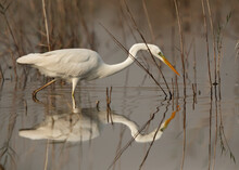 Great Egret Fishing With Reflection On Water, Bahrain