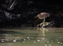 Juvenile Lava Heron Or Galapagos Heron (Butorides Sundevalli) Fishing.