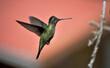 Leinwandbild Motiv Ein fliegender Kolibri